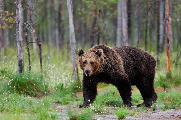 Определён лимит добычи диких животных