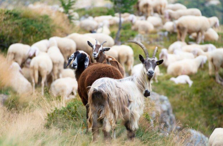 Оспа мелкого рогатого скота: специфика и профилактика